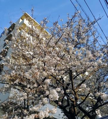 RYOSUKE(リョースケ) 桜