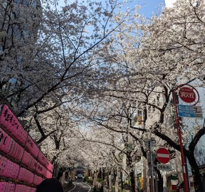UMI(ウミ) 桜