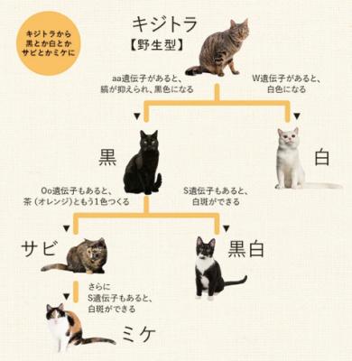 KOUTA(コウタ) キジトラ!!